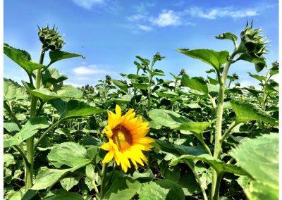 Sunflowers, Francescas, Lot-et-Garonne
